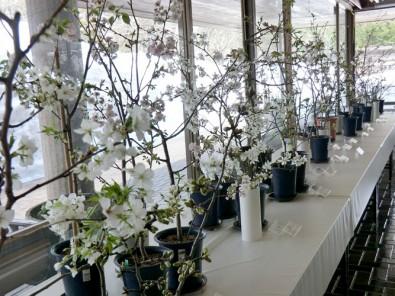 2014年3月19日(水)~30日(日)『桜の花展』開催決定!