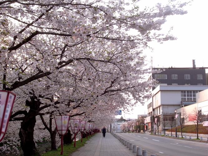日本一の桜弘前城のさくらは全国的にも有名 桜の名所として知られる