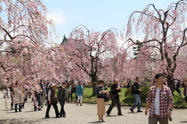 弘前城本丸の様子。弘前城本丸では弘前さくらまつりの観光客で賑わう