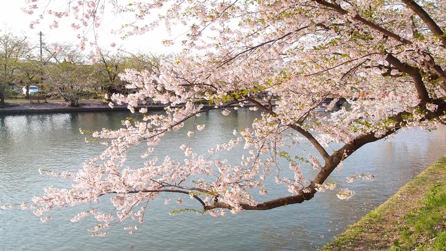 弘前公園の西濠と、桜の様子。弘前さくらまつりでは濠の水と桜との情景も人気。桜のトンネルは毎年多くの観光客で賑わう。