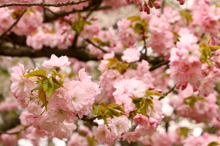 桜の開花に合わせ毎年多くの観光客で賑わう。弘前さくらまつりの桜