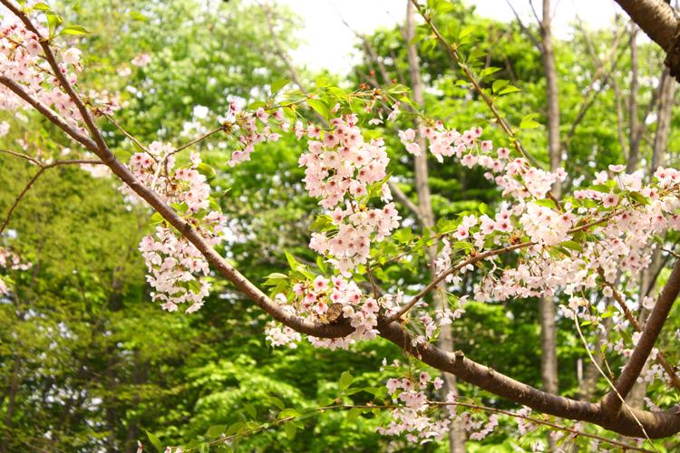弘前公園追手門付近の桜。弘前さくらまつりでは、緑とピンクの美しいコントラストも見もの