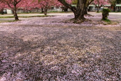 地面に広がる桜の絨毯