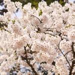 弘前公園 満開の桜