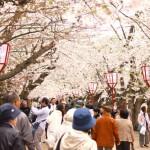 弘前公園 満開の桜 桜のトンネル