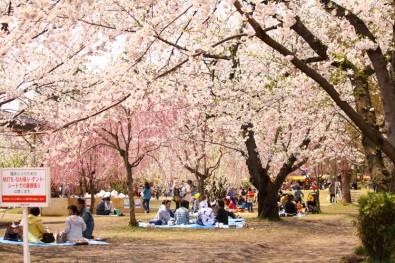 弘前公園 満開の桜と花見客