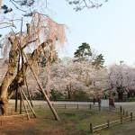 弘前公園 大枝垂れ(オオシダレ)