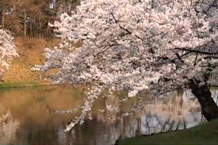 弘前城(弘前公園)「二の丸の桜」