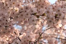 弘前城(弘前公園)「二の丸の桜2」