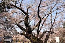 弘前城(弘前公園)「日本最古のソメイヨシノ」