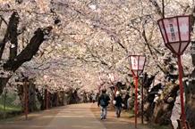 弘前城(弘前公園)「桜のトンネル」