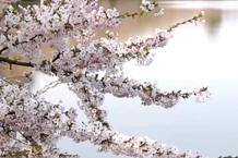 弘前城(弘前公園)「西濠の桜」