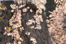弘前城(弘前公園)「弘前城石垣と御滝桜」