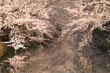 弘前城(弘前公園)「白銀町交差点付近の桜」