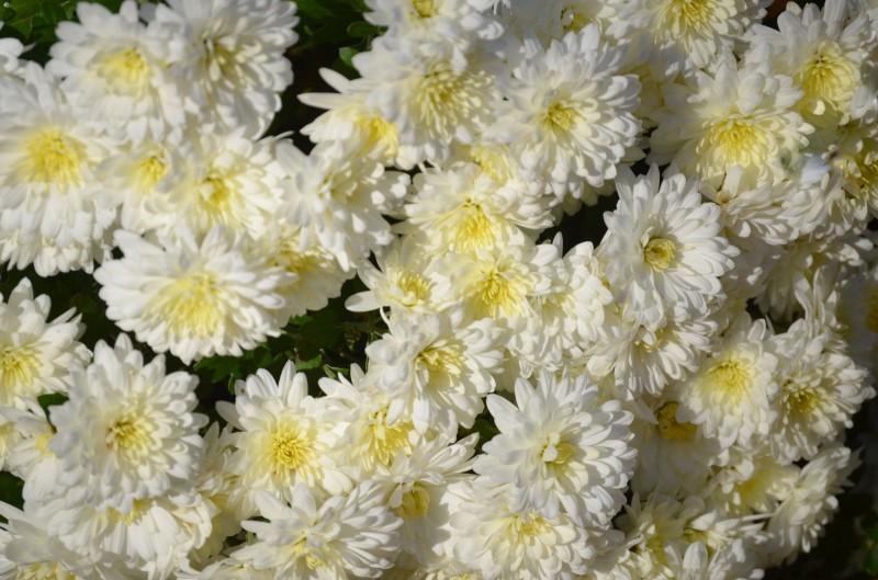 弘前城菊と紅葉まつり 白い菊