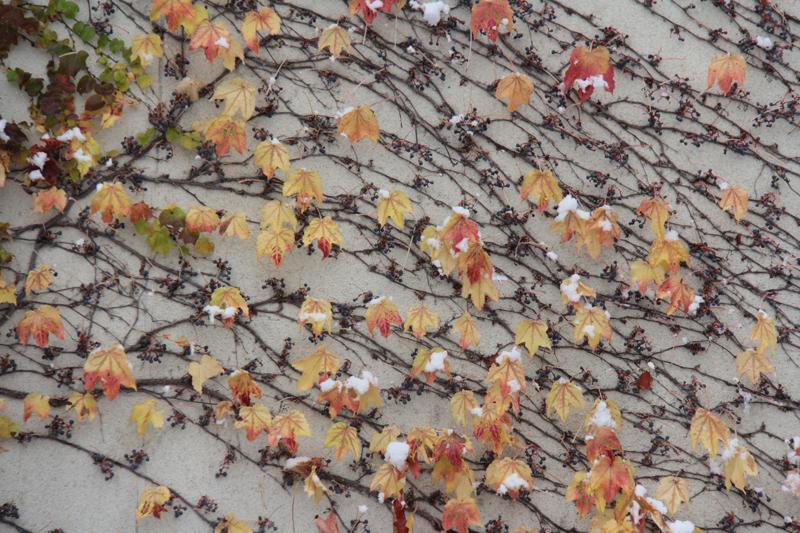 雪と紅葉のコントラスト