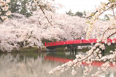 弘前城 弘前さくらまつり期間の弘前公園の春陽橋と桜