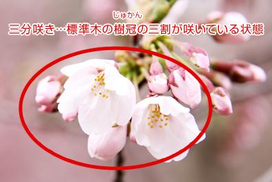 三分咲きの桜(弘前城のある弘前公園)