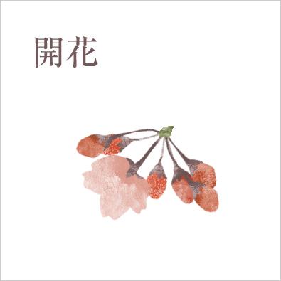 開花 標本木で5〜6輪以上の花が開いた状態