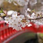 2013年5月8日の弘前さくらまつりの様子