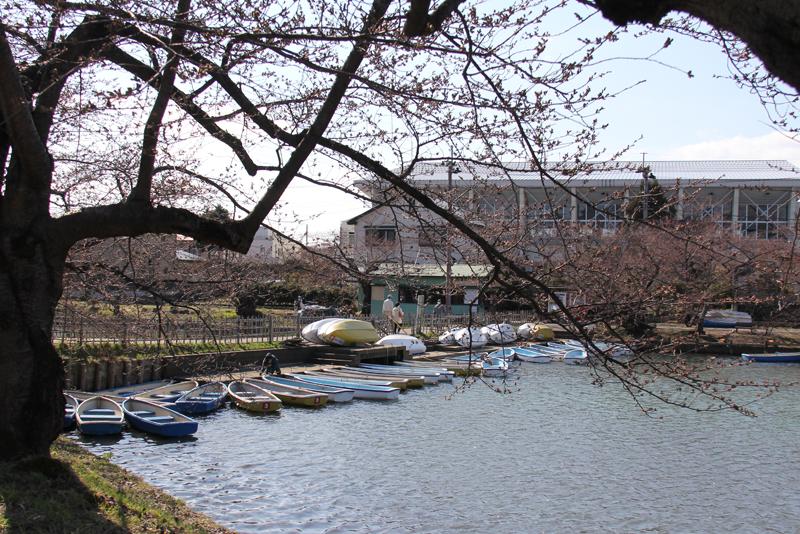 弘前公園・弘前城 つぼみもピンク