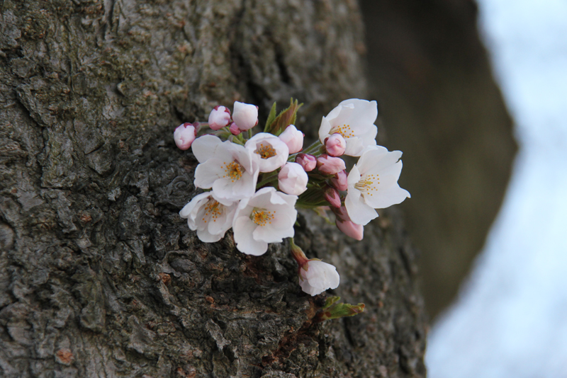 弘前公園・弘前城 胴吹き桜もたくさん見れます