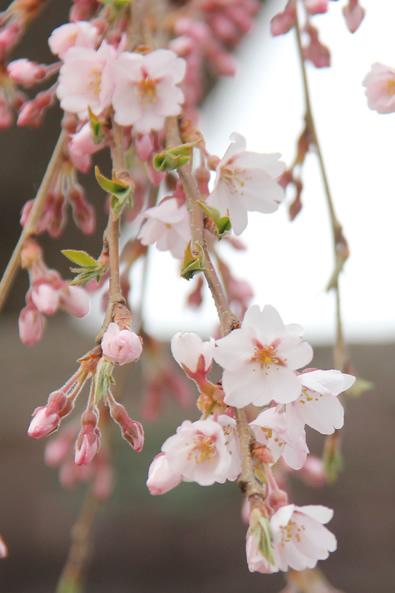 2014/4/20 弘前公園・弘前城