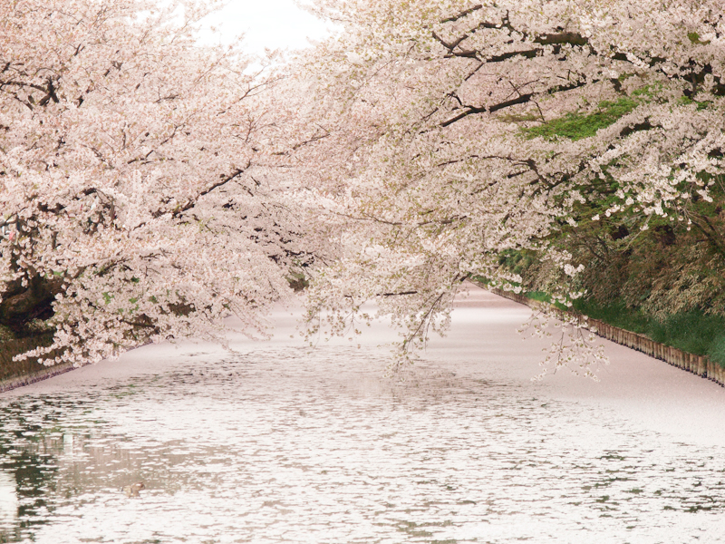 2014年4月30日撮影された弘前公園外濠・桜の様子