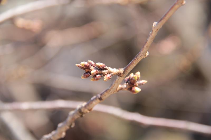 2014年4月2日 弘前公園(弘前城)桜の枝つぼみの様子