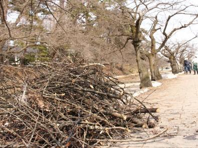 弘前城の桜の木の剪定