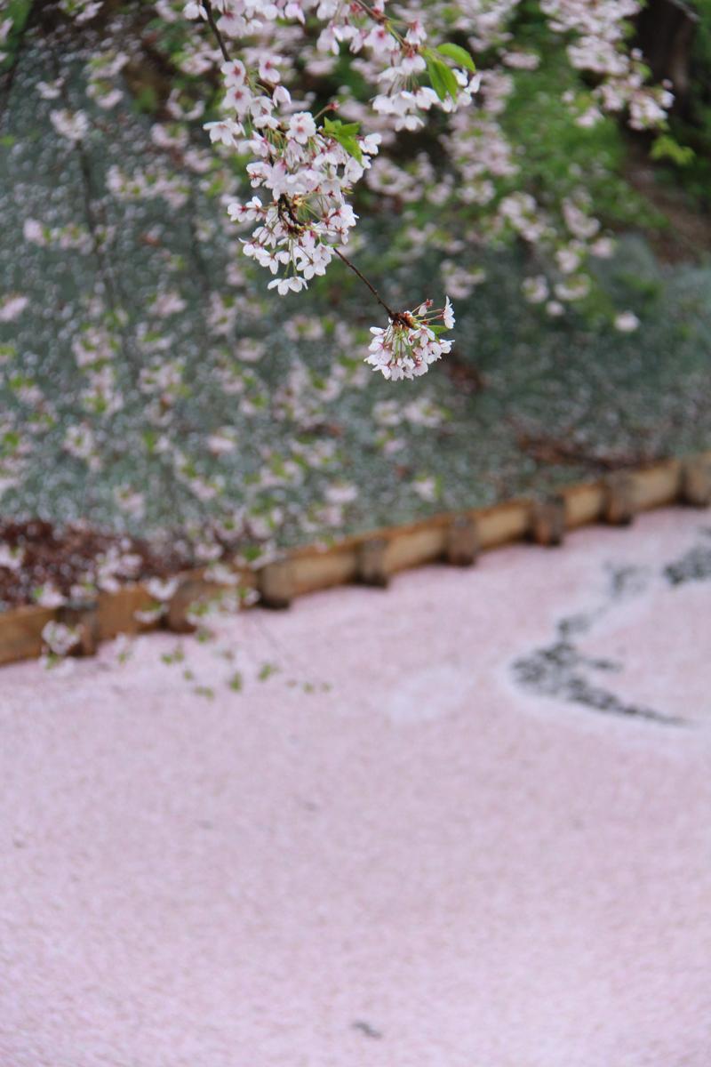 2013年5月11日撮影された弘前公園外堀・桜の様子