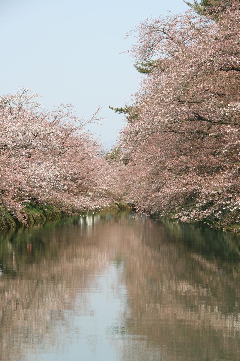 弘前城撮影スポットとしても有名な追手門付近の桜
