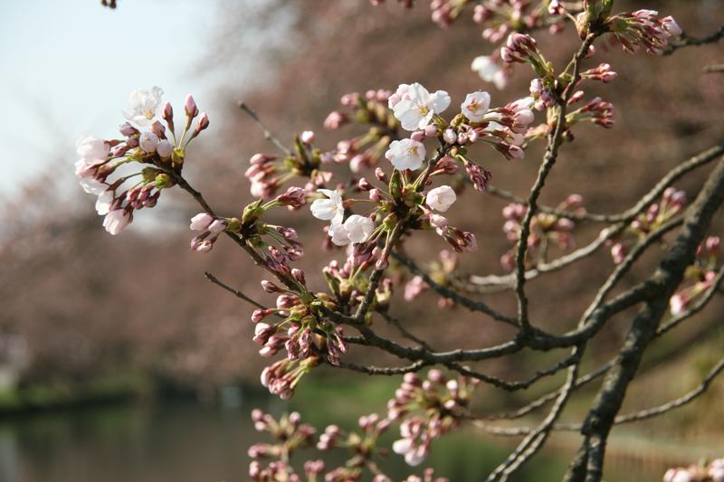 弘前城外濠の桜の様子