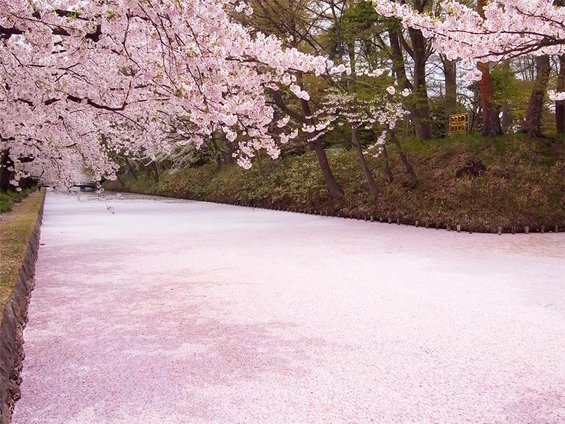 弘前公園(弘前城)桜の絨毯(じゅうたん)・畳