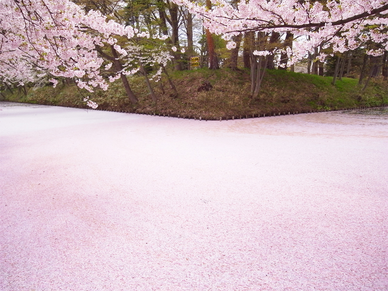 2011年5月7日撮影された弘前公園外濠・桜の様子