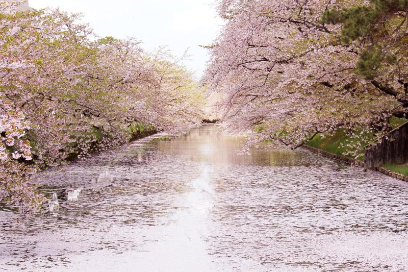 弘前公園外濠の花びら