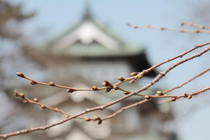 つぼみが緑色になり少しぷっくりしてきています!弘前城と桜の様子(2014年4月7日)