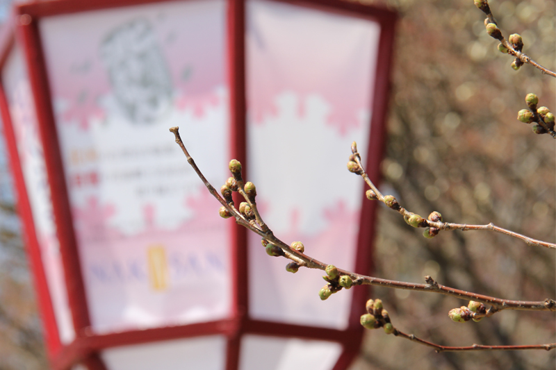 弘前公園・弘前城 園内の桜の様子