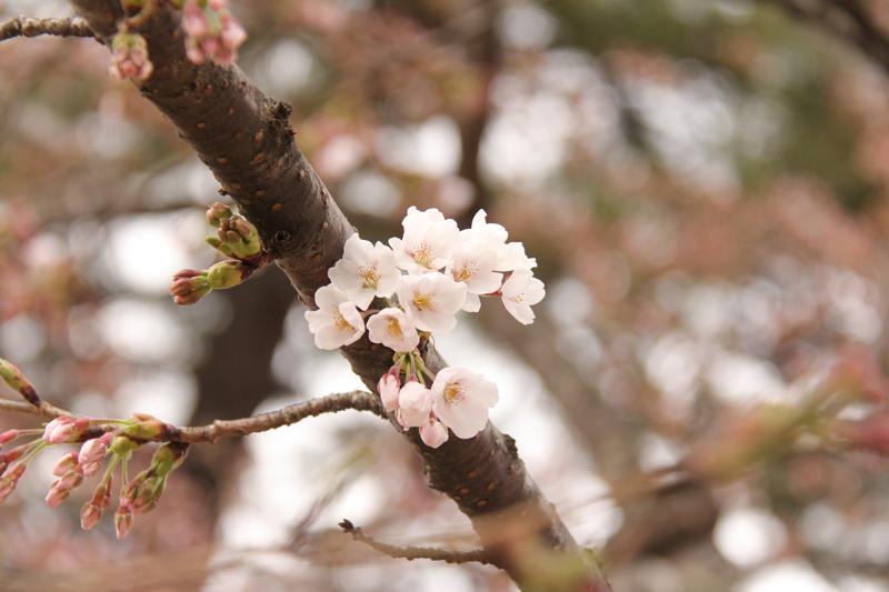外堀のソメイヨシノ開花 弘前さくらまつりまで残すところ1日。開花宣言が発表されました!