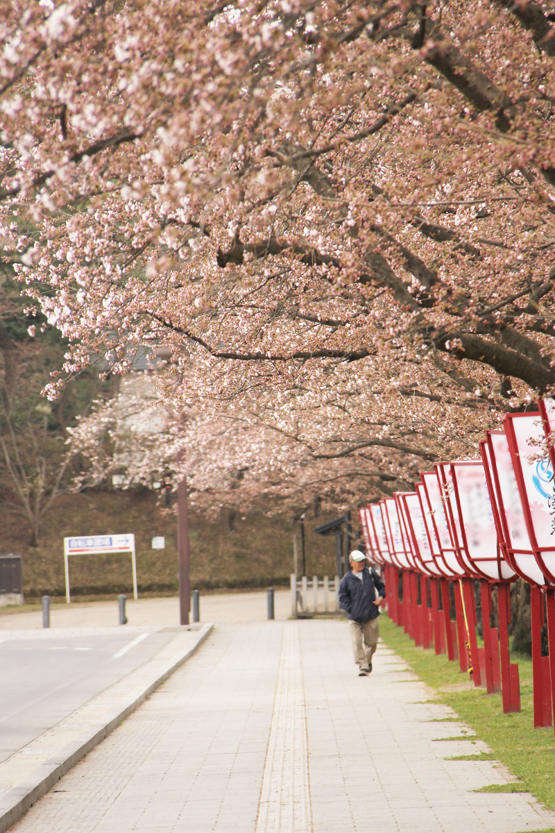 外堀(中央高校前付近)のソメイヨシノ 弘前さくらまつりまで残すところ1日。開花宣言が発表されました!