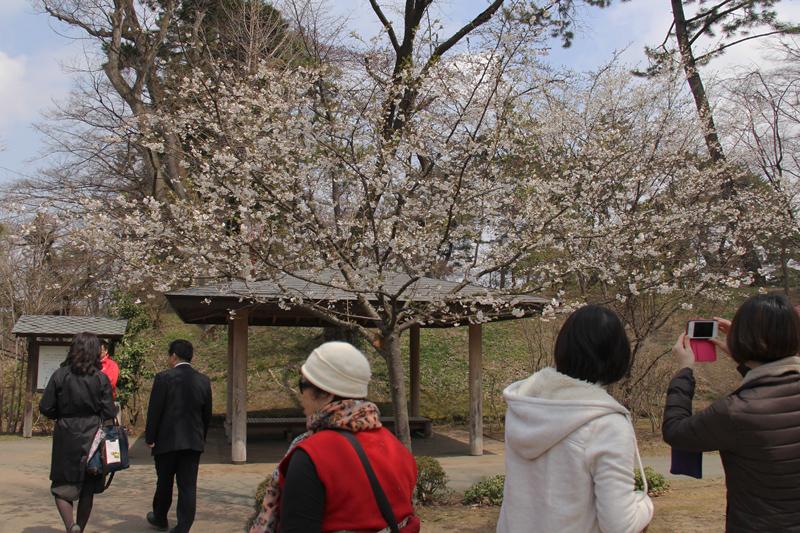 弘前さくらまつり2014開幕 7分咲きとなった子福桜(北の郭館神跡)も大人気の撮影スポット