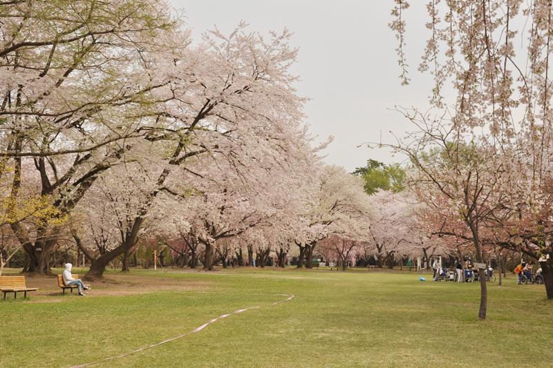 弘前公園内・弘前城の桜の様子1 2014/4/30