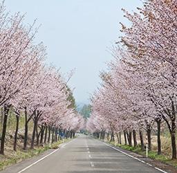 オオヤマザクラの桜並木