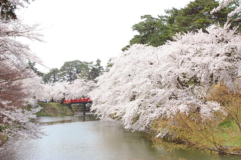 杉の大橋と満開の桜