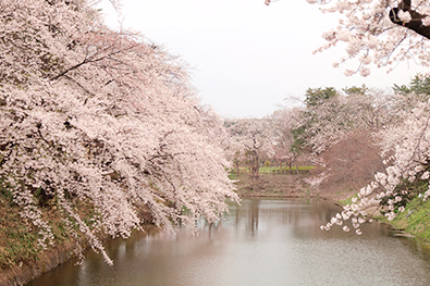 杉の大橋と桜
