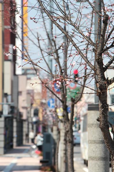 青森県弘前市上土手町の桜の花びら