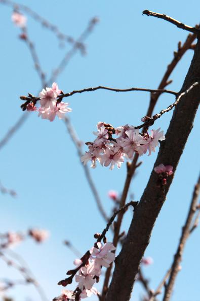 青森県弘前市上土手町の桜が開花