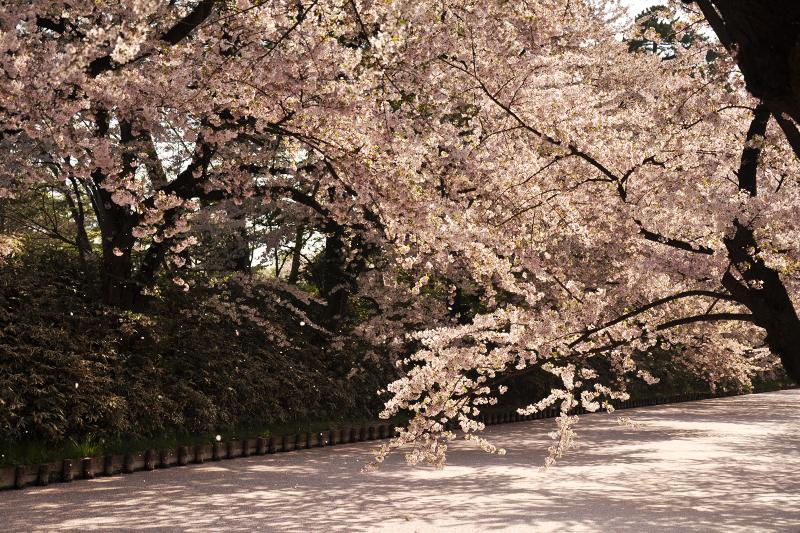 各所で桜の花吹雪が見られ、桜の絨毯は見ごろを迎えています