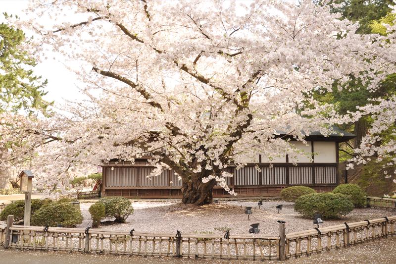 最古のソメイヨシノ 今朝(5/1)の弘前公園・弘前城の様子 2