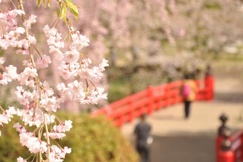 北の郭 紅枝垂れ(ヤエベニシダレ) 今朝(5/1)の弘前公園・弘前城の様子 4